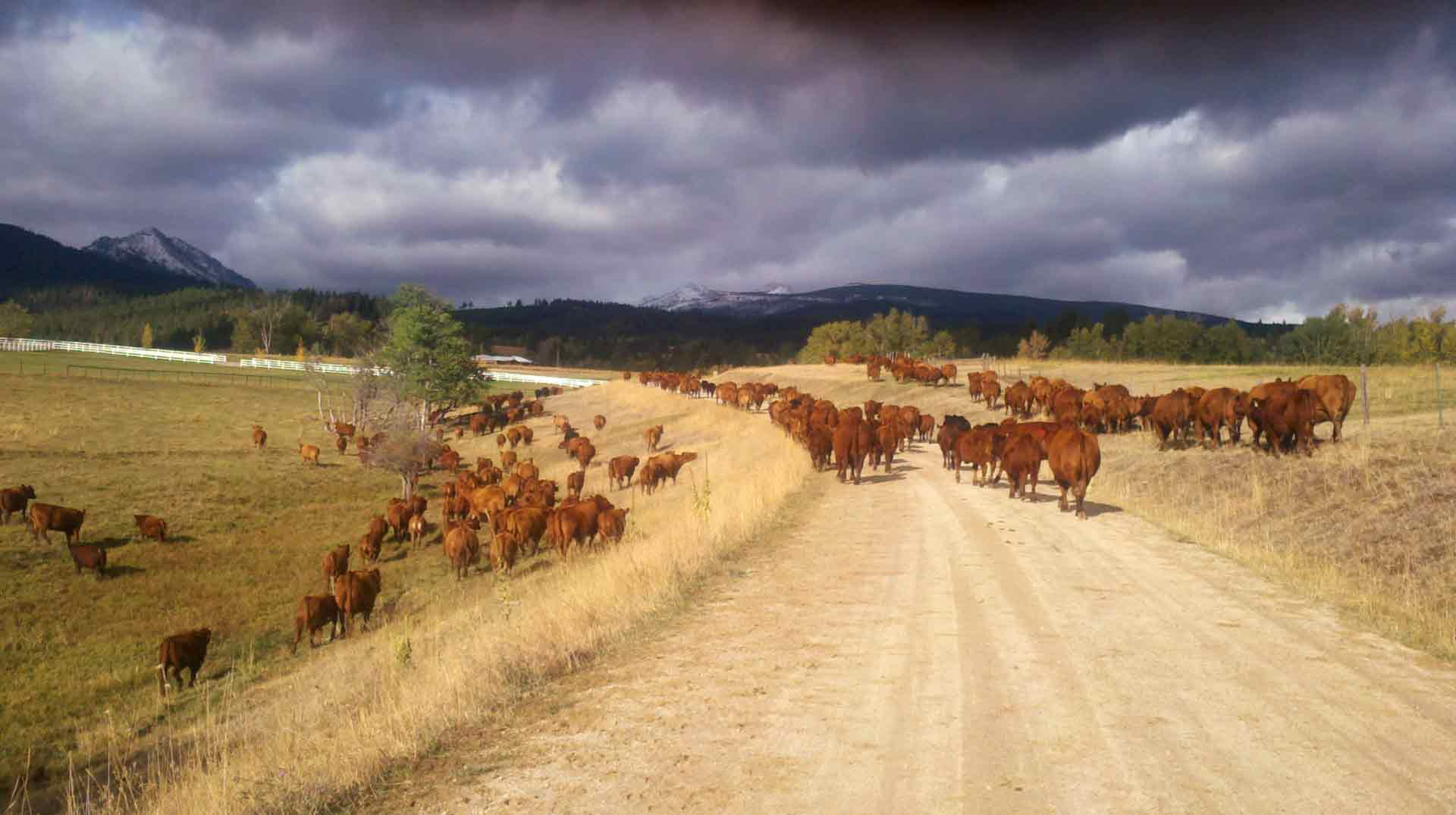 Sutherlin Red Angus Cattle